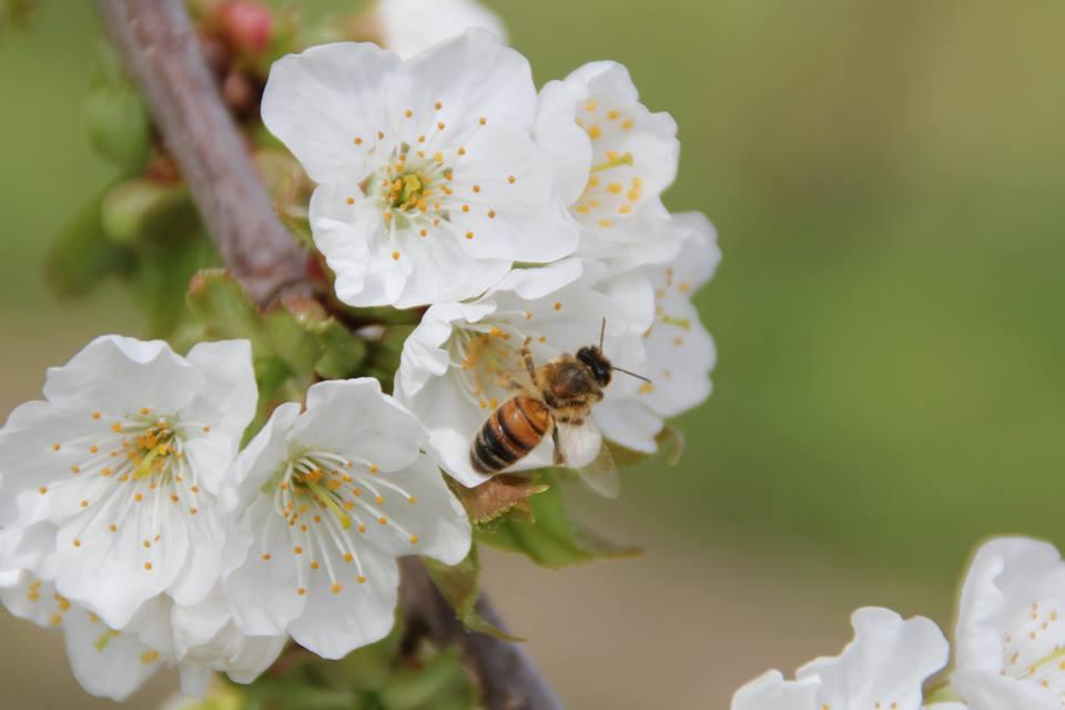 Kirschblüten und Biene