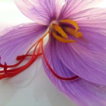 Safranblume