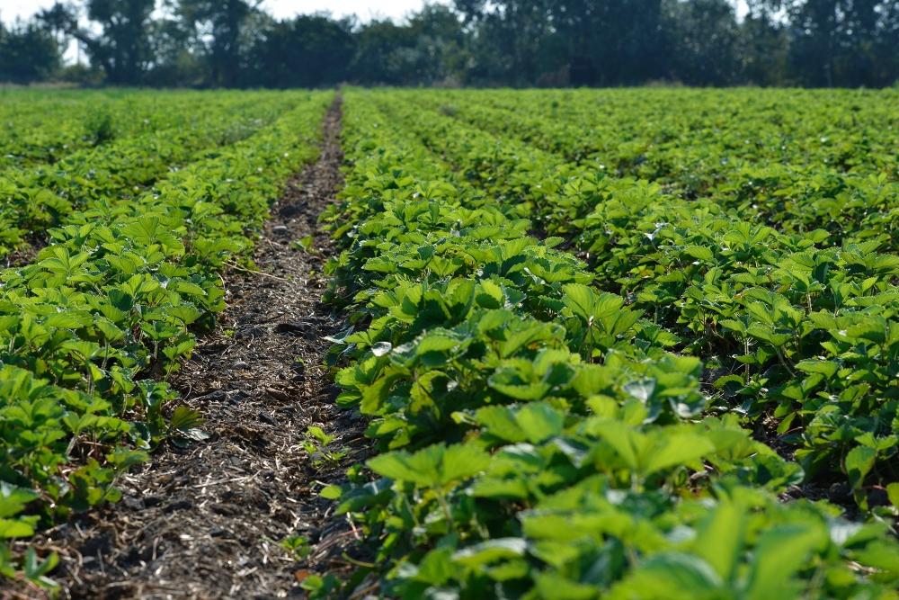 Erdbeerfelder vom Bioweingut Heideboden