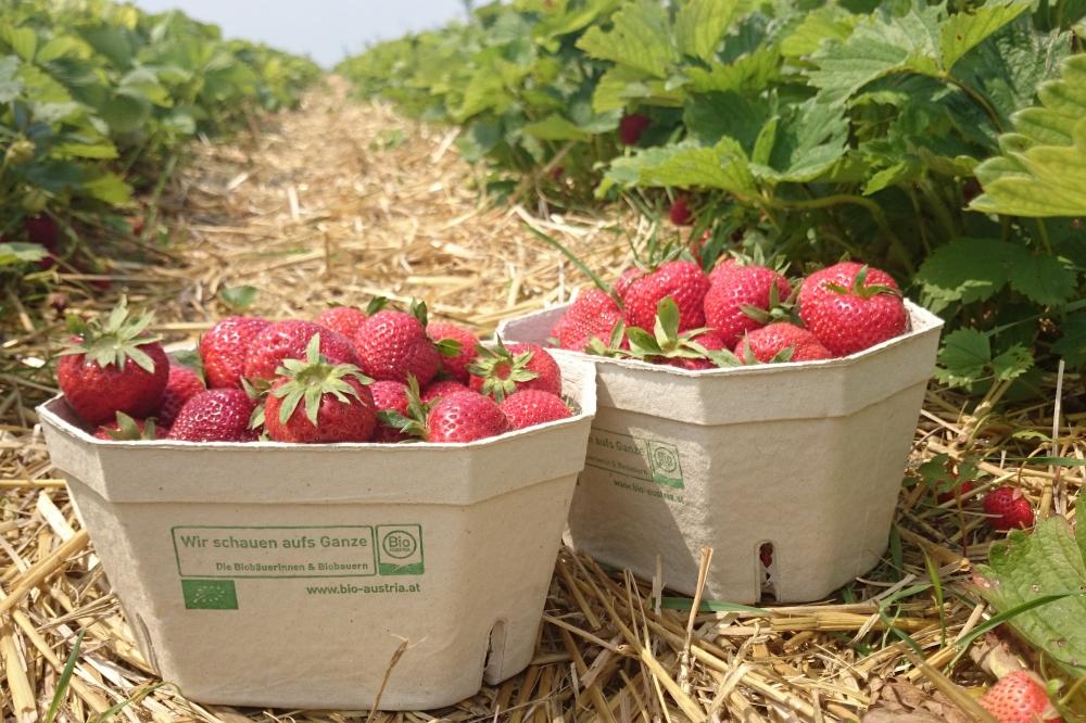 Bio Erdbeerfelder Bioweingut Heideboden