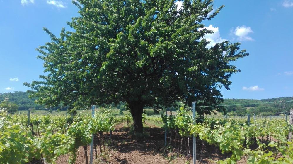 Leithaberger Edelkirsche Kirschbaum