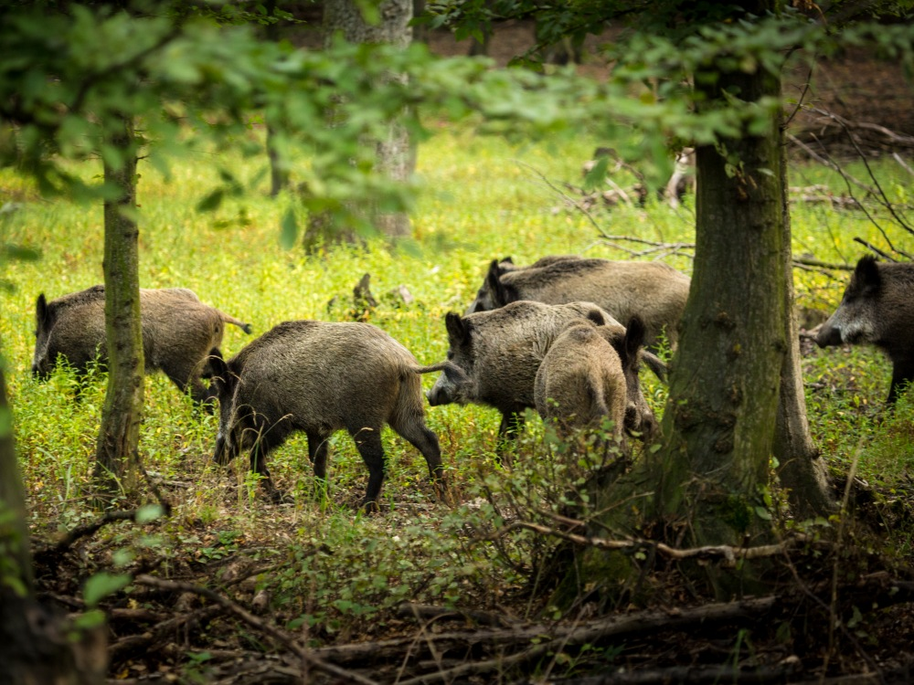Wildschweine Burgenland