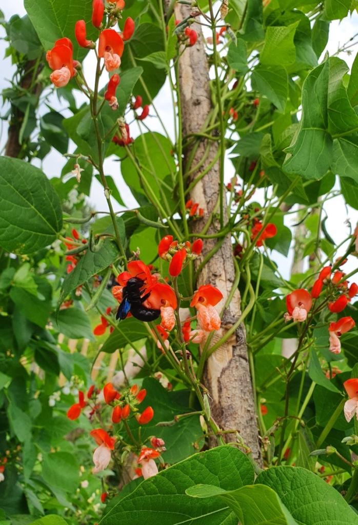 Blüte der Käferbohne